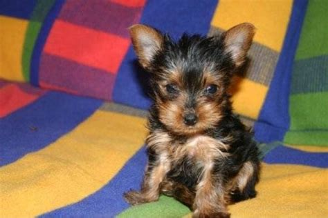 caring for yorkies teacup yorkie care image search results