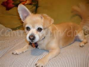 pictures of haired chihuahua haircuts long haired chihuahua haircuts dog breeds picture