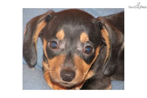 dachshund puppies louisiana akc mini dachshunds about us breeds picture