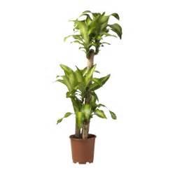 ikea plants dracaena massangeana potted plant ikea