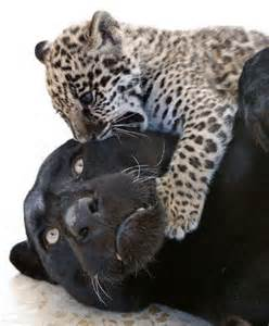 Panthers Jaguars Amazing Animals Pictures The Feline The Black