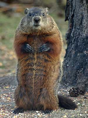 groundhog day like how accurate is punxsutawney phil find out on earthsky