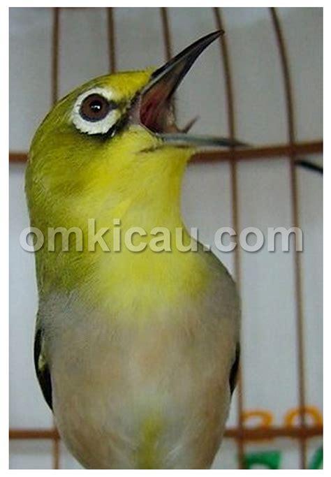 Makanan Burung Pleci Aikguan air dingin bisa menggacorkan pleci klub burung
