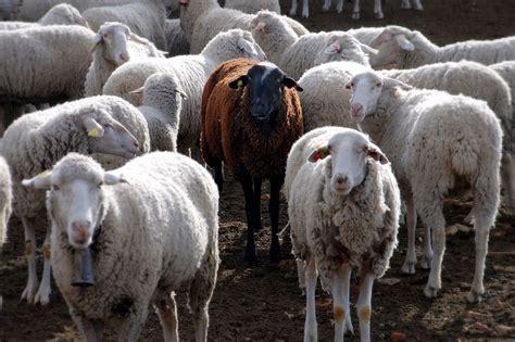 black sheep this or that black sheep wikipedia