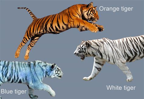 facts about the new year tiger essay on the tiger for