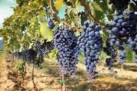 Bibit Jagung Manis Paling Bagus jenis anggur tanpa biji tanaman bunga hias