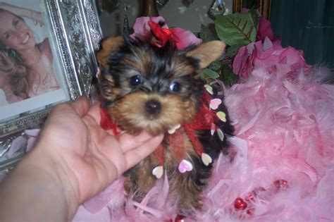 yorkies for adoption in miami pets miami fl free classified ads