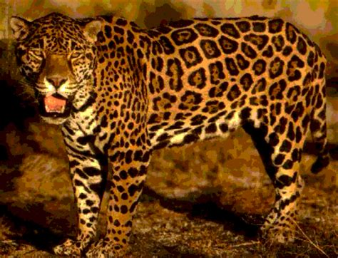 All About Jaguars Jaguar Cat Facts About All