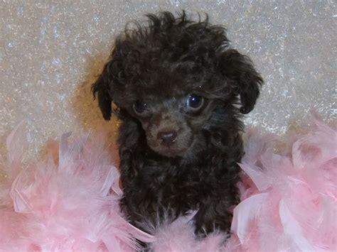micro teacup poodle lifespan 148 best black poodles images on