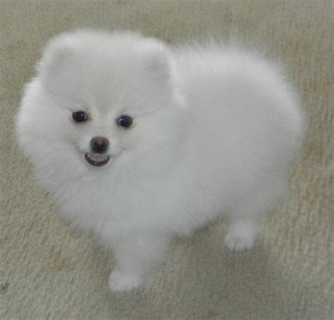 white miniature pomeranian pomeranian of white color described links to white pomeranian for sale