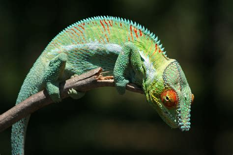 panther chameleon echohealthy pets