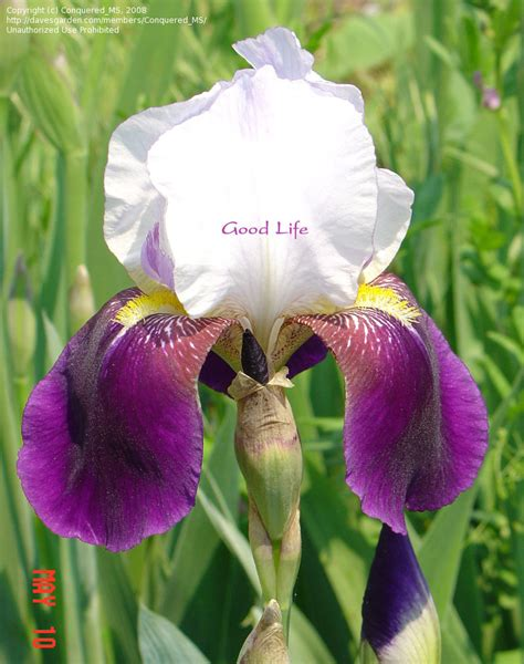 plantfiles pictures tall bearded iris helen collingwood