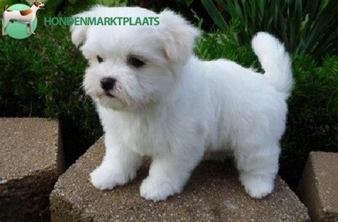 honden pups advertenties honden pups te koop vinden of goed opgeleid maltese puppies te koop honden