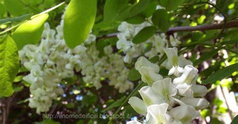 nome fiori bianchi in nome dei fiori grappoli di fiori bianchi di robinia