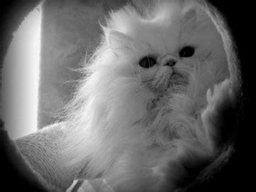 nomi per gatti persiani la foto tuo persiano gattipersiani it gatti persiani