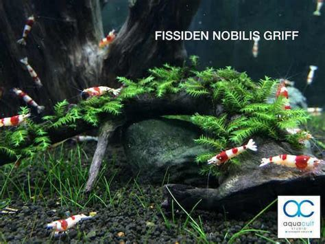 aquascape aquarium supplies fissiden nobilis griff aqu end 11 10 2017 11 15 pm myt