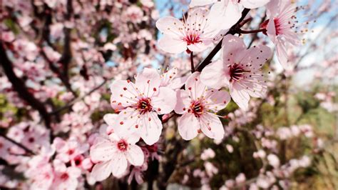 spring prunus cerasifera pissardii bloom power by