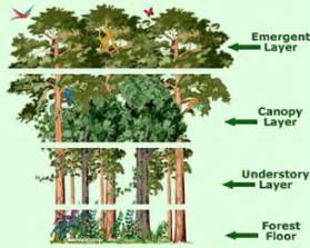 Layers Of The Rainforest Canopy by Layers Amazon Rainforest
