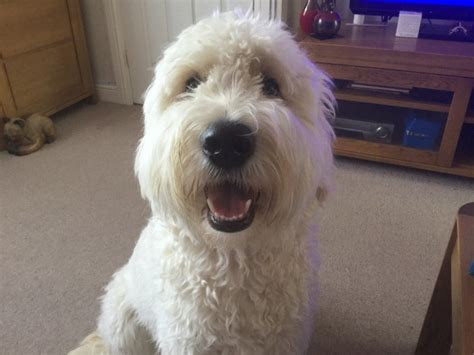 goldendoodle puppy wanted 1 year goldendoodle witham essex pets4homes