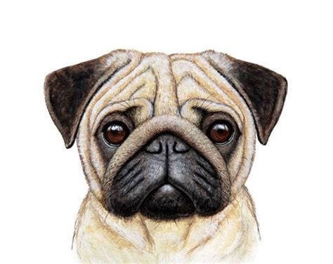 pug illustration 25 best ideas about pug illustration on pug pug and pug