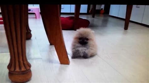 micro for sale micro teacup pomeranian puppies for sale