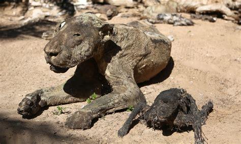 animali in gabbia gaza animali prigionieri di un paese in gabbia