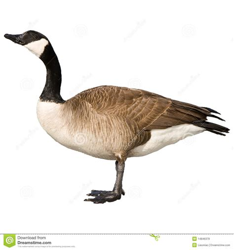 Free Online Architecture Home Design canadian goose royalty free stock images image 14846379