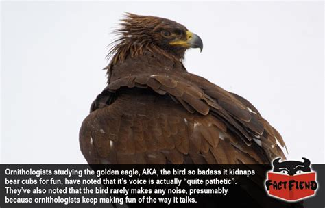 Swiss Army Kryptonite the golden eagle sounds like a puppy fact fiend