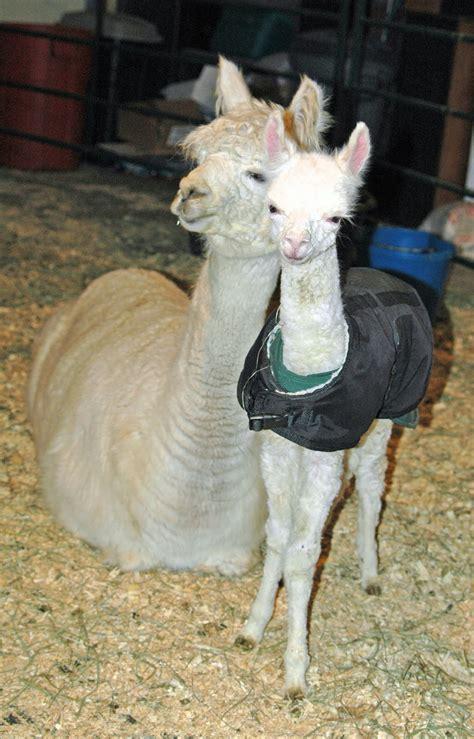 Suplemen Tathion alpaca overview cria milk supplementation
