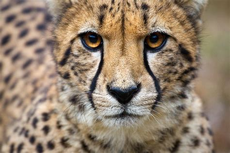 what color is a cheetah all about the cheetah physical characteristics