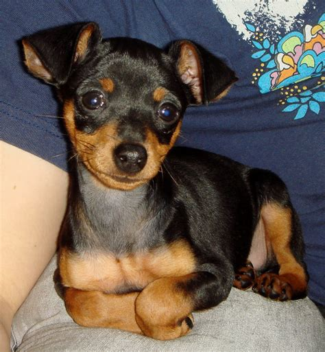 min pin 1000 images about min pins r awsm on chihuahuas miniature and toys