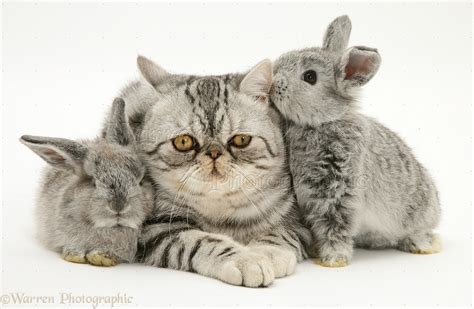 Pets: Silver Exotic cat and two silver baby rabbits photo