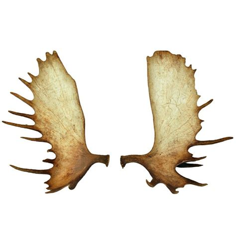 Butterfly Home Decor by Antique Moose Antlers