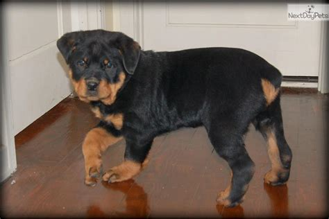 rottweiler puppies for sale in harrisburg pa rottweiler for sale for 700 near harrisburg pennsylvania 0f701ff1 4c51