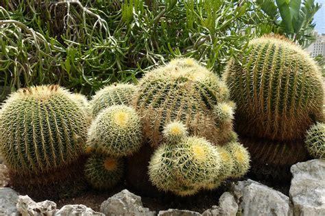 giardino esotico di monaco quando annaffiare i cactus e quanta acqua alle succulente
