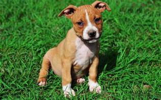 american staffordshire puppies breed information puppies