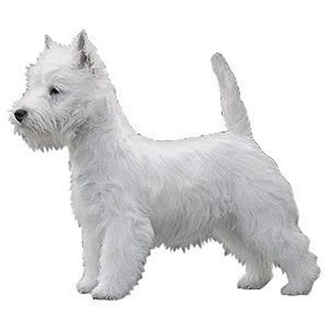 West Highland White Terrier Shedding by West Highland White Terrier The Breeds Bible