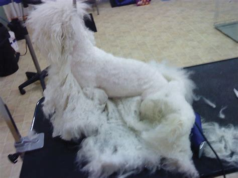 How To Shave A Matted by Can A Get Stuck On A Dogs Knot Just B Cause