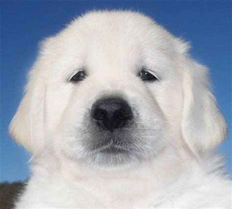 white golden retriever puppies for sale southern california image gallery white retriever