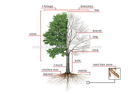 define tree plants gardening plants tree structure of a