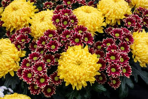 chrysanthemum colors pictures of mums hgtv