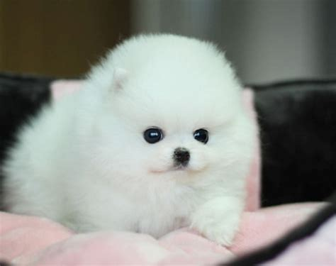 tiny white pomeranian small white fluffy puppies breeds picture