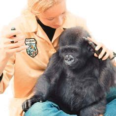 penny and koko the gorilla | koko with dr. penny patterson