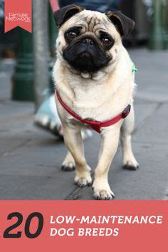 low maintenance breeds 1000 images about dogs on breeds best breeds and breeds
