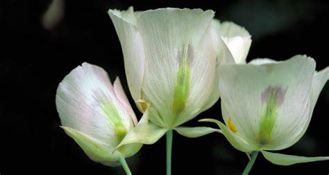 state flower of utah state flower sego proflowers
