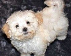 chion havanese puppies 38 best images about dogs on chihuahuas to cuddle and spaniels