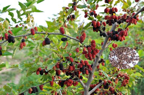 when do mulberry trees fruit fruit tree seeds mulberry tree seeds for sale view