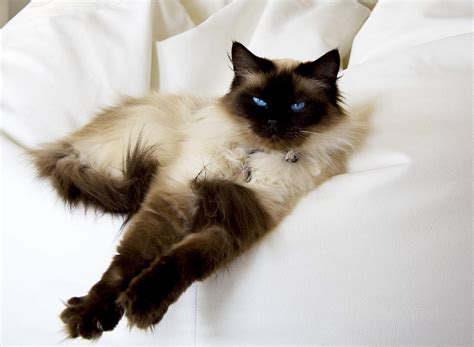 Ragdoll Cat Shedding by The Ragdoll Cat Cat Breeds Encyclopedia