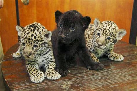 imagenes de jaguares kawaii animales leones panteras tigres y jaguares