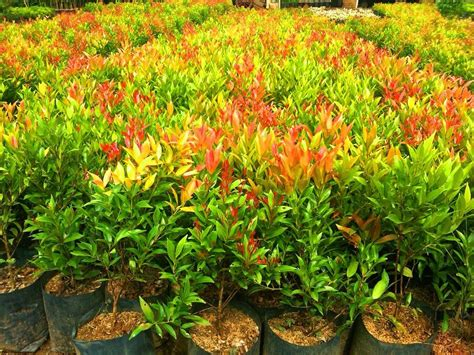 harga tanaman hias pucuk merah  biak www